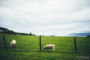 Lambs-grazing-castle-field